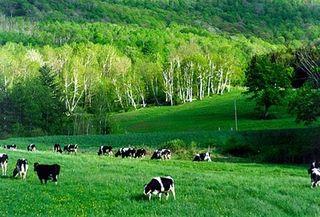 Cowsinpasture